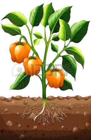 1,585 Bell Peppers Stock Vector Illustration And Royalty Free Bell.