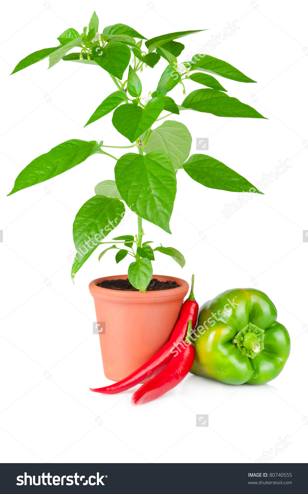 Pepper Plant White Flowers Growing Ceramic Stock Photo 80740555.