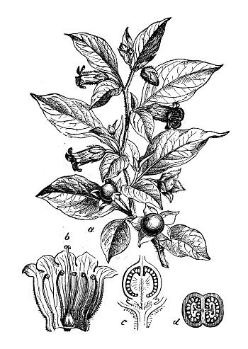 Atropa Belladonna Clip Art, Vector Images & Illustrations.