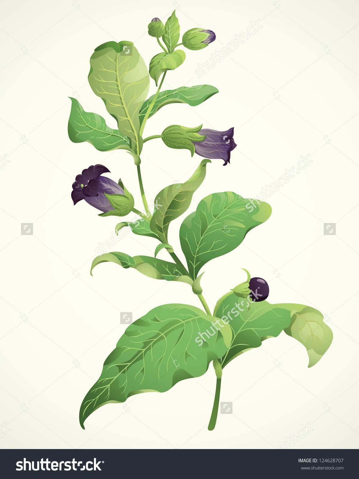 Deadly Poisonous Herb Belladonna Atropa Belladonna Stock Vector.