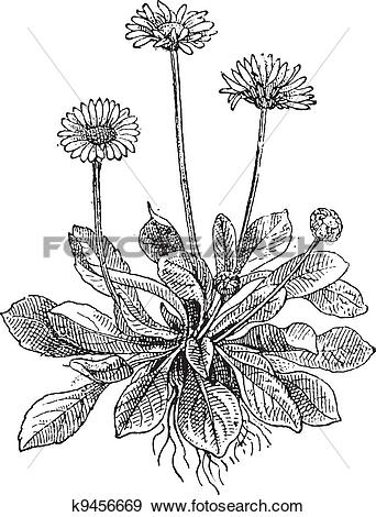 Clip Art of Common Daisy or Bellis perennis, vintage engraving.