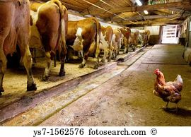 Cattle cow shed Stock Photos and Images. 555 cattle cow shed.