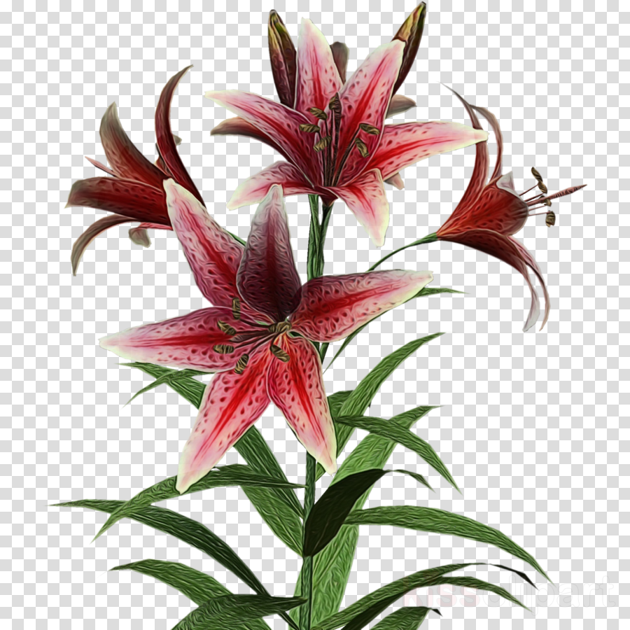 flower lily plant stargazer lily amaryllis belladonna.