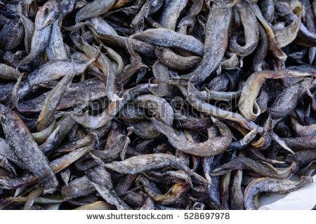 Freshwater Eels Stock Photos, Royalty.