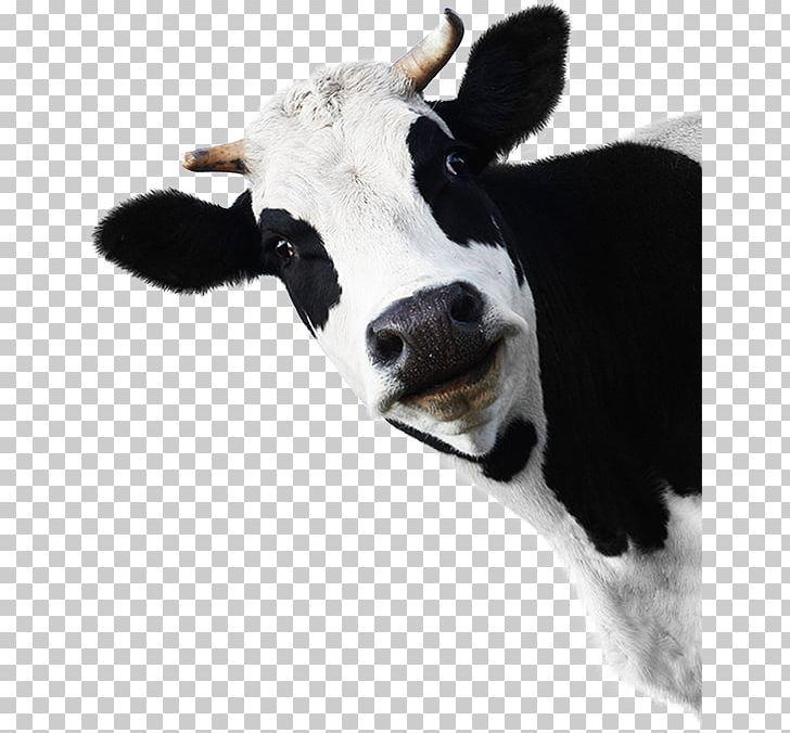 Beef Cattle Holstein Friesian Cattle Charolais Cattle Belted.