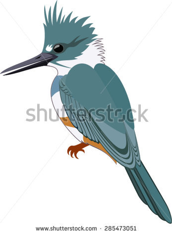 Belted Kingfisher Stock Photos, Royalty.