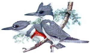 Belted Kingfisher Clip Art Download.
