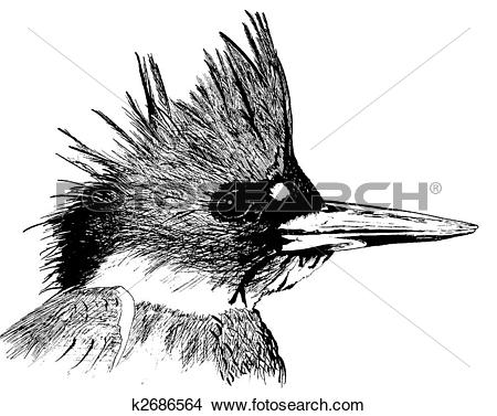 Drawings of Belted Kingfisher k2686564.