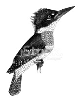 Belted Kingfisher stock vectors.