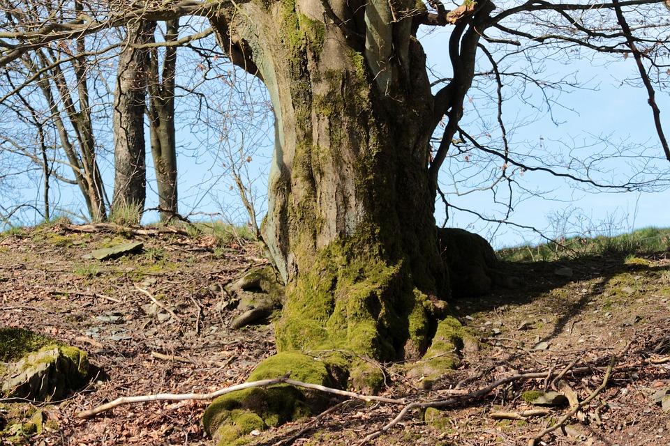 Free photo: Tree, Old Tree, Shrubs, Root.
