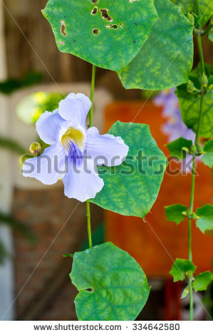 Blue Trumpet Vine Stock Photos, Royalty.