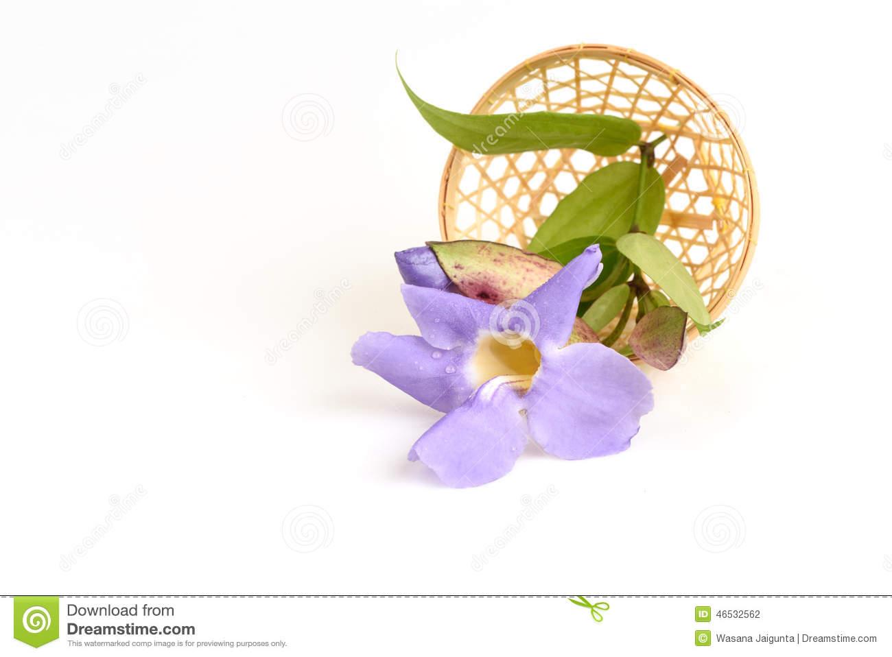 Laurel Clock Vine, Blue Trumpet Vine Flowers. Stock Photo.
