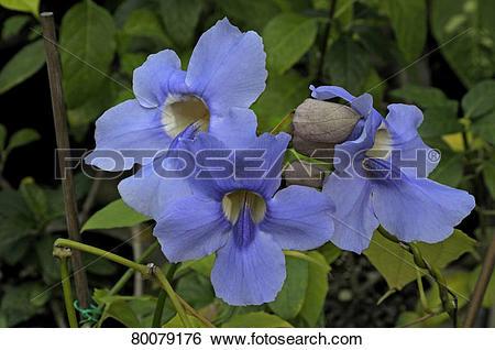 Stock Images of DEU, 2008: Blue Trumpet Vine, laurel Clock Vine.