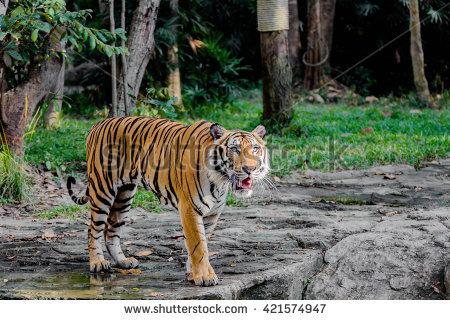 Bengel Tiger Stock Photos, Royalty.