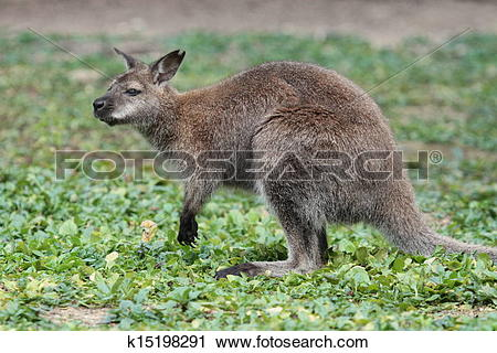 Stock Photography of Bennett wallaby kangaroo k15198291.