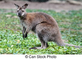 Stock Photo of Bennett Wallaby, Kangaroo csp6333572.