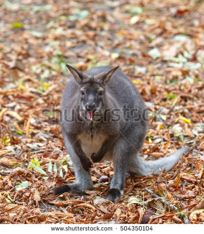 Macropod Stock Photos, Royalty.