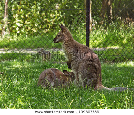 Bennett'S Wallaby Kangaroos In The Zoo, Baby Drinking Milk From.
