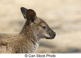 Stock Photos of Bennett Wallaby, Kangaroo csp6333243.