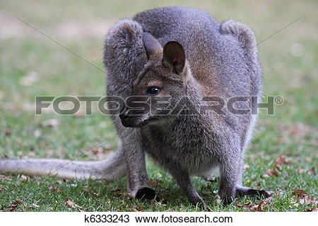 Stock Photo of Bennett Wallaby, Kangaroo k6333243.