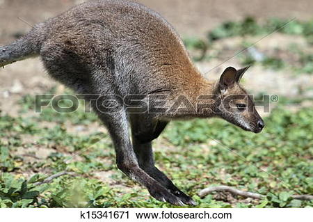 Stock Photography of Bennett wallaby kangaroo k15341671.