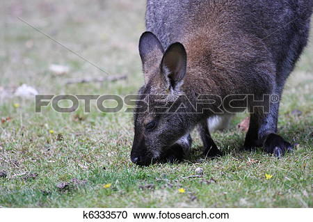 Stock Photography of Bennett Wallaby, Kangaroo k6333570.