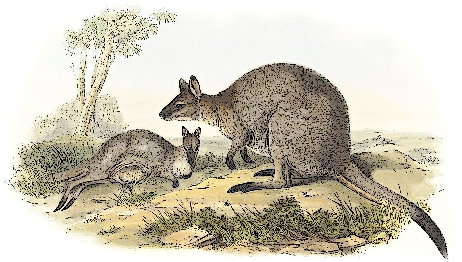 Free Wallaby Clipart, 1 page of Public Domain Clip Art.