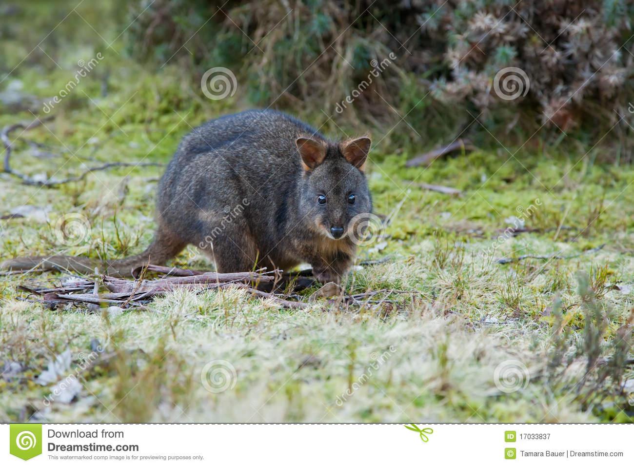 Bennett's Wallaby, Tasmania Royalty Free Stock Photography.