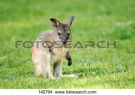 Stock Photo of Bennett's Wallaby.