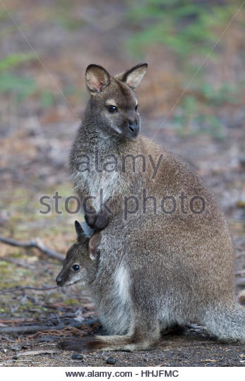 Wallaby Baby Stock Photos & Wallaby Baby Stock Images.