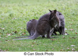 Stock Photos of Bennett Wallaby, Kangaroo csp6333243.