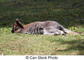 Stock Photo of Bennett Wallaby, Kangaroo csp6333572.