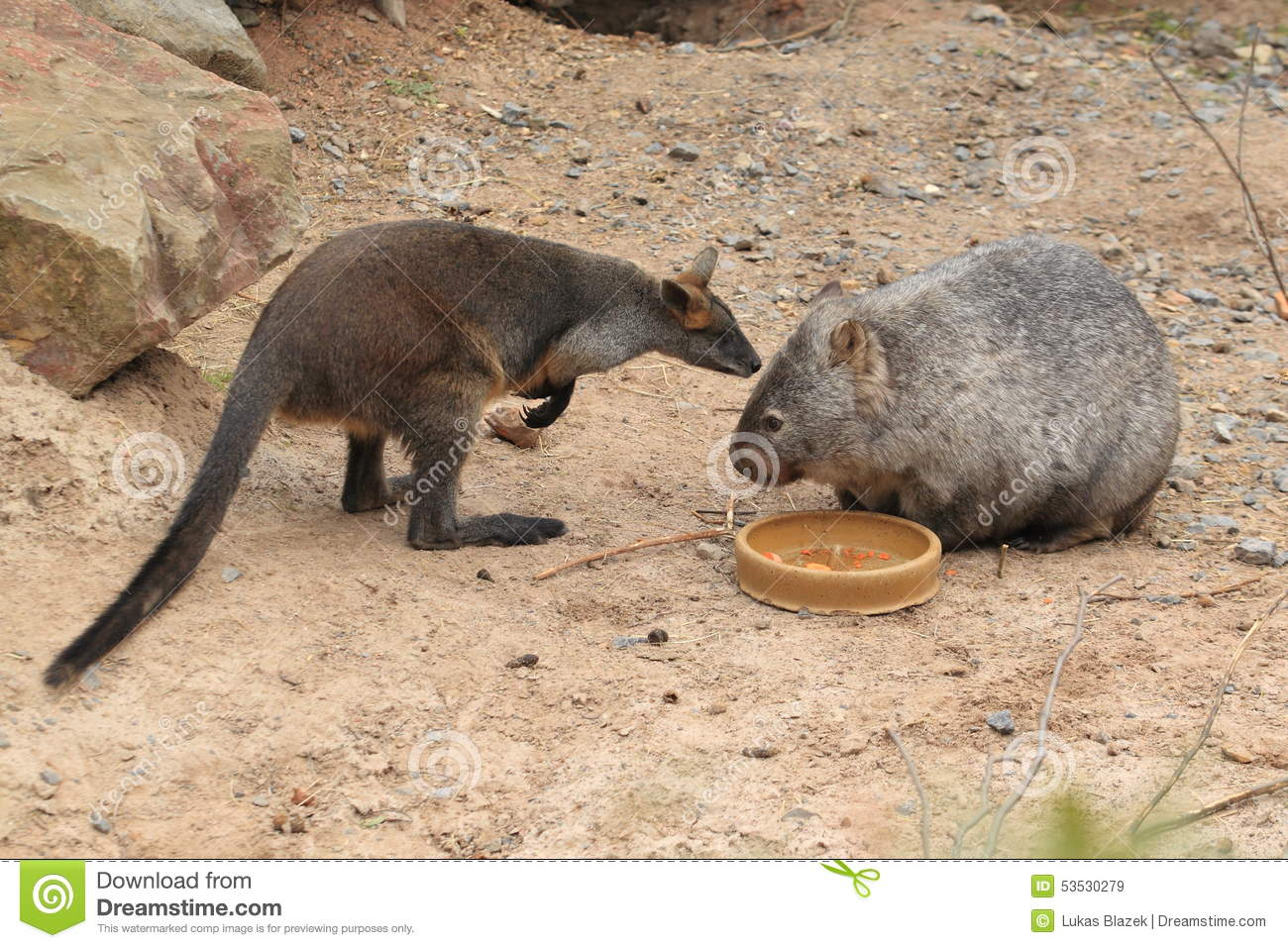 Bennett Wallaby And Common Wombat Stock Photo.