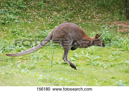 Stock Photography of Bennett's Wallaby.