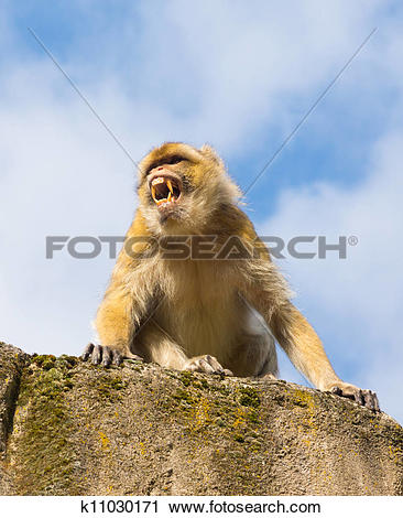 Stock Photography of Angry berber monkey k11030171.