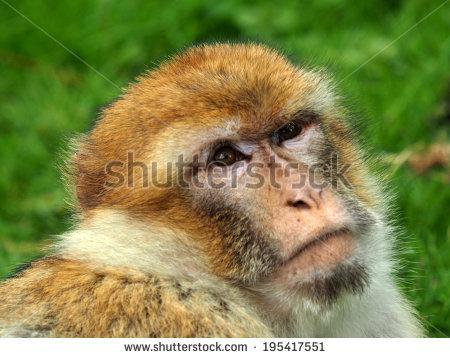Portrait Berber Monkey Stock Photo 195417551.