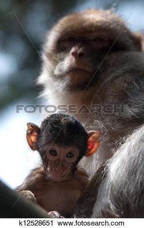Stock Photography of Berber Monkeys k12528651.