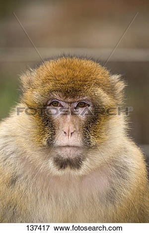 Picture of Barbary Macaque.