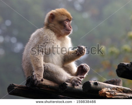 Gibraltar Monkey Stock Photos, Royalty.