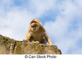 Pictures of Berber monkeys csp36562884.