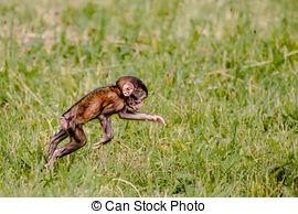 Stock Image of Barbary Ape eating, Gibraltar..