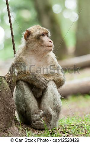 Stock Photo of Berber Monkey sitting outside in the forest.