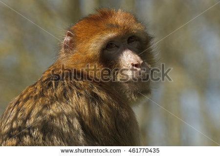 Ape Barbary Closeup Stock Photos, Royalty.