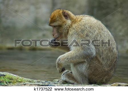 Stock Photo of Resting Berber Ape k1737522.