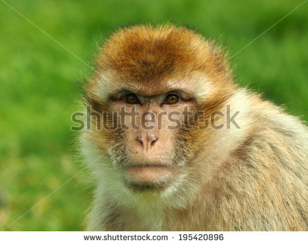 Berber monkey clipart #10