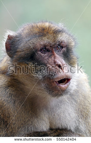 Barbary Macaque Monkey Gibraltar Angry Face Stock Photo 102279715.
