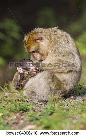Pictures of Berberaffe (Macaca sylvanus), Muttertier saugt Baby.
