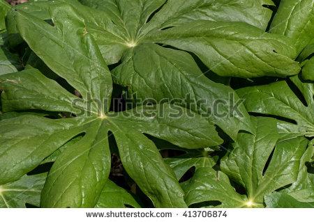 Berberidaceae Stock Photos, Royalty.