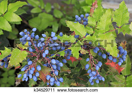 Stock Photography of Mahonia aquifolium plant in family.