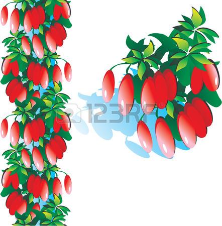 Berberidaceae Ilustraciones Vectoriales, Clip Art Vectorizado.